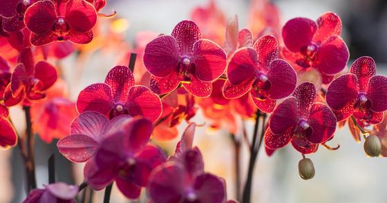 Cover - E-book grátis sobre como cuidar de orquídeas